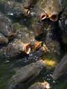 Hungry carps Stock Image