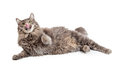 Hungry Cat Laying Licking Lips Royalty Free Stock Photo