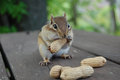Hungry chipmunk storing peanuts in its mouth Royalty Free Stock Photography