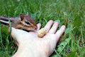 Hungry chipmunk about to eat a peanut Stock Images