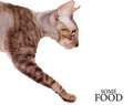 Hungry cornish rex walking into half lenth Stock Images