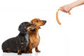 Hungry couple of dachshund with treat Royalty Free Stock Photo