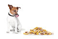 Hungry dog jack russell beside a big mound or cluster of food isolated on white background Royalty Free Stock Photography