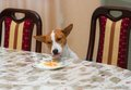 Hungry dog steals food and delights beings home alone Royalty Free Stock Photography