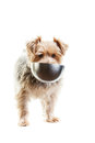 Hungry dog yorkshire terrier with his food dish in its mouth on a white background Royalty Free Stock Image