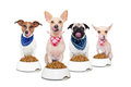 Hungry dogs row of as a group or team all and tonge sticking out in front of food bowls isolated on white background Royalty Free Stock Images