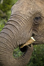 Hungry elephant chewing on a leaf of a prickly pear Royalty Free Stock Photo