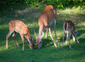 Hungry family two young whitetail deer fawns eating with their doe Royalty Free Stock Image