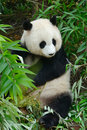 Hungry giant panda bear eating bamboo at chengdu china Royalty Free Stock Photography
