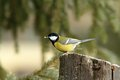 Hungry great tit with seed in beak parus major its Royalty Free Stock Photos