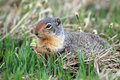 Hungry Ground Squirrel Stock Images