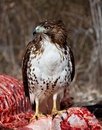 Hungry juvenile hawk standing on dinner Stock Image