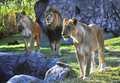 Hungry Lions at a park Royalty Free Stock Image