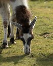 Hungry brown and white Llama, Lama glama, grazing on grass Royalty Free Stock Photo