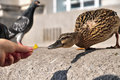 Hungry mallard duck stretching to get food from hand this image shows a female being fed with a pigeon in the background waiting Royalty Free Stock Image