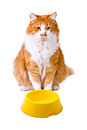 Hungry orange and white cat with empty bowl looks interest Stock Images