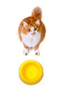 Hungry orange and white cat with empty bowl looks up to camera isolated on background Royalty Free Stock Photo