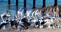 Hungry pelicans flock of australian opening their bills looking for food Royalty Free Stock Image