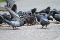 Hungry pigeons on park alley feral columba livia eating food from the people Stock Photos