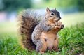 Hungry Pregnant Squirrel Royalty Free Stock Photography