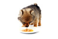 Hungry puppy brown feeling is looking meat on dish in studio Stock Photo