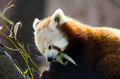 Hungry red panda a munches on bamboo leaves its dinner time Royalty Free Stock Photography