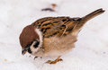 Hungry spring sparrow on white snow Royalty Free Stock Photo