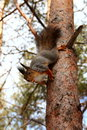 Hungry squirrel with nut in mouth on a tree Royalty Free Stock Photos