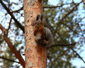 Hungry squirrel with nut in mouth on a tree Royalty Free Stock Image