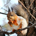 Hungry squirrel with nut on a tree Royalty Free Stock Photography