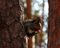 Hungry squirrel with nut on a tree Stock Photo