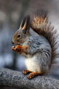 Hungry squirrel with nut on a tree Stock Image