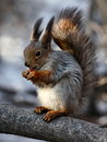 Hungry squirrel with nut on a tree Stock Photography