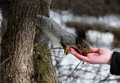 Hungry squirrel taking nuts from hand Royalty Free Stock Photos
