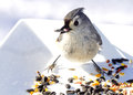 Hungry titmouse bird small eating birdseed off from white plate outdoors Stock Photography
