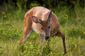 Hungry White Tail Doe Deer Royalty Free Stock Photos