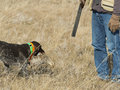Hunter and his dog a with retrieving him a grouse Royalty Free Stock Photography