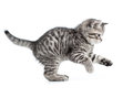 Hunting or catching british gray kitten Royalty Free Stock Photo