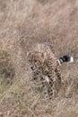 Hunting cheetah prowls through long grass closeup Royalty Free Stock Photo
