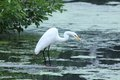 Hunting for dinner this snowy egret is looking with a crook in its neck it s looking into the water while standing on a plank of Stock Photography