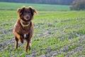 Hunting dog Royalty Free Stock Photo