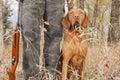 Hunting dog at heel
