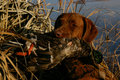 Hunting dog with mallard duck a chocolate lab mouths a drake at a blind Stock Photo
