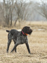 Hunting dog on point german wirehaired pointer Royalty Free Stock Images