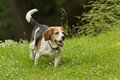 Hunting dog purebred beagle in a field full of white flowers Royalty Free Stock Image