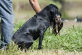 Hunting Dog Retriever, Hunter Getting Duck Royalty Free Stock Image