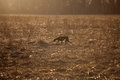 Hunting dog running across the field in evening Stock Images