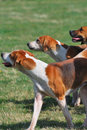 Hunting dogs in group Royalty Free Stock Photo