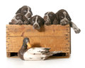 Hunting dogs litter of german shorthaired pointer puppies in a wood crate isolated on white background Royalty Free Stock Images