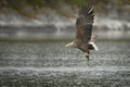 Hunting eagle with catch a white tailed carrying a fish which it has just caught Royalty Free Stock Photo